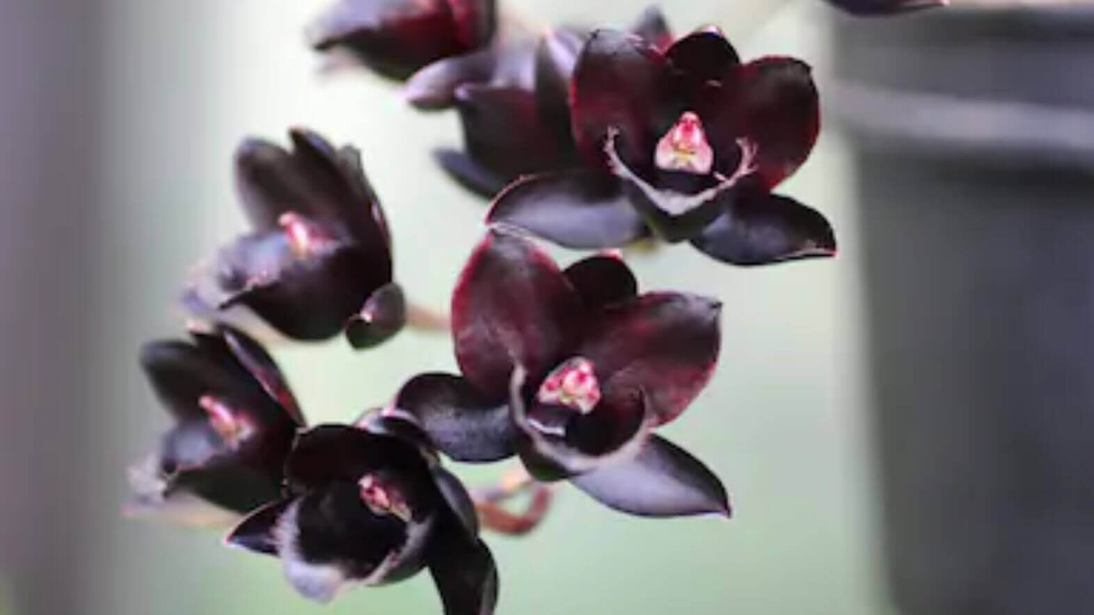 image showing black orchids