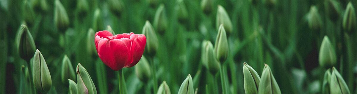 image of single tulip