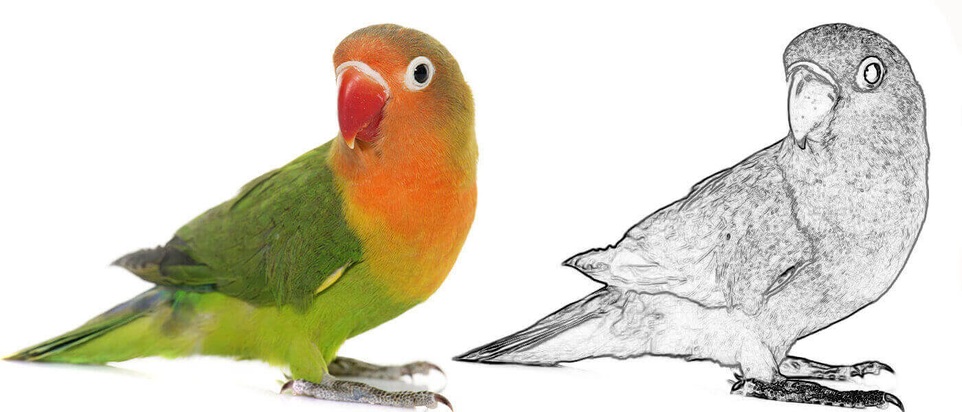 photo of a lovebird alongside an edge-detected version